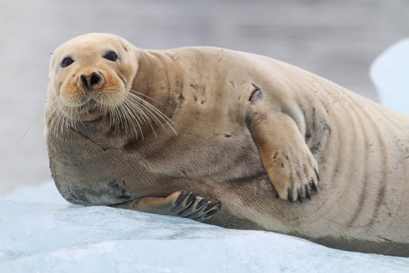 Bearded seal (Erignathus barbatus) rests on an ice floe in Kongsfjorden, Svalbard. (Randall Hyman)