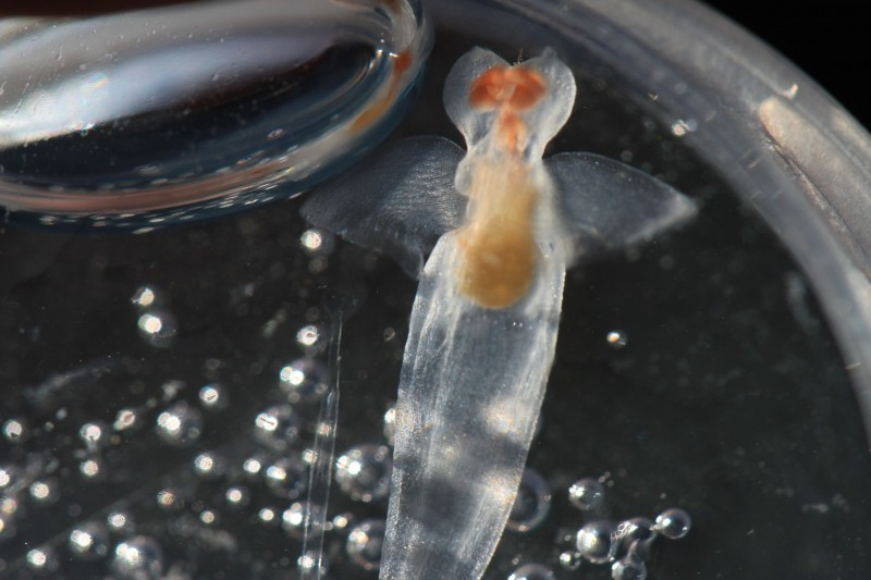 Pea-sized sea angel (Clione limacina) is a shell-less cold water gastropod, one of many zooplankton collected beneath polar sea ice at 82 degrees north, near Svalbard, Norway. (Randall Hyman)