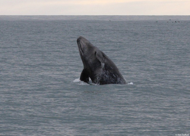 A young gray whale breaches the waters over Barrow Canyon. (Kate Stafford)