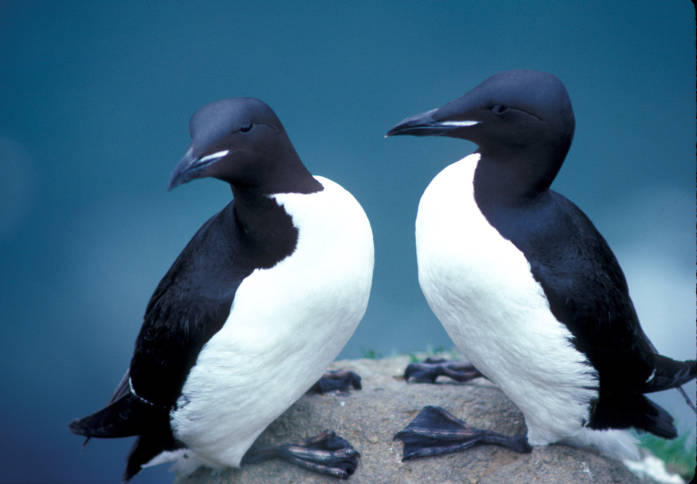 Thick-billed murres. (U.S. Fish and Wildlife Service, CC BY 2.0)