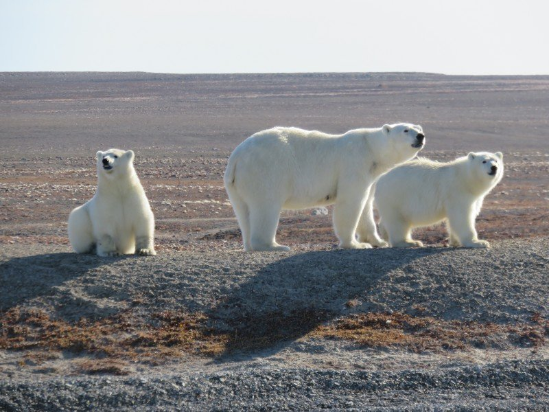A mother polar bear and her two cubs travel across the barren ground. (Peter and Connie Roop)