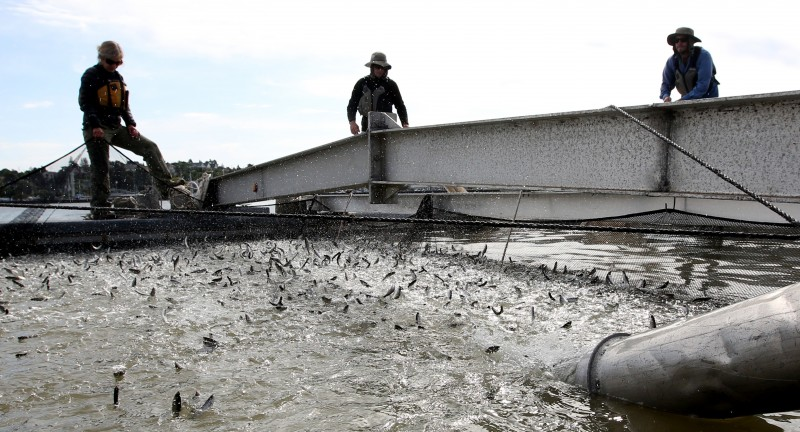 Young salmon, called smolts, are loaded into a floating net suspended on a barge at Mare Island, Calif. (Rich Pedroncelli, AP)