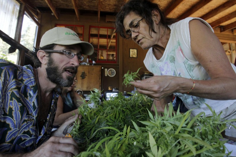 Ed Willey, at left, and Sol Posada harvest at a marijuana farm in Davenport, Calif., on Tuesday, Oct. 12, 2010. Many such farms will have to obtain state permits for their water diversions under a new regulatory program. (Marcio Jose Sanchez, AP)