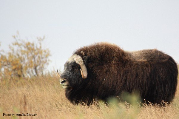 Musk oxen, who once faced extinction, graze along the rivers that flow into the Beaufort Sea. (Amelia Brower)