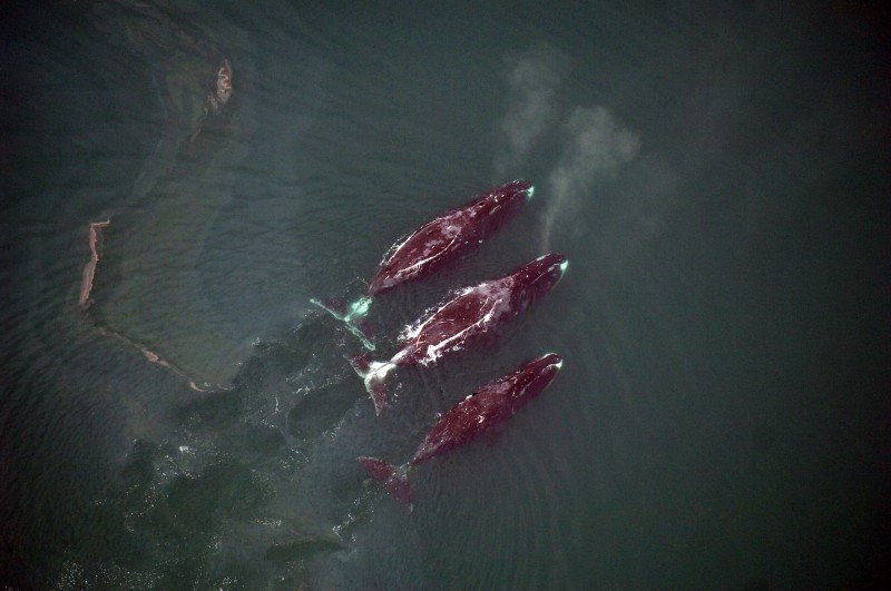 Bowhead whales in shallow coastal waters, where they often feed in fall. (NOAA/Cynthia Christman)