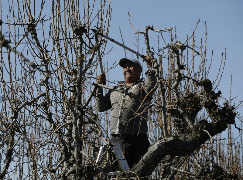 Juan Enofie prunes trees on the farm of Russell van Loben Sels in the San Joaquin-Sacramento River Delta, near Clarksburg, California. A project to build giant pipes underground to ship water south is splitting farmers and politicians throughout the state. Area farmers, including Van Loben Sels, fear that if the project is built, it will cost farming jobs and scar the Delta forever. (Rich Pedroncelli, AP)