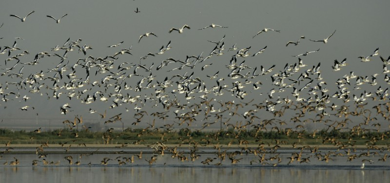 Shore birds take flight around the Sonny Bono Salton Sea National Wildlife Refuge in Calipatria, Calif. The Salton Sea was created in 1905 when floodwaters from the Colorado River burst past a series of dams and settled in the Salton Sink. Ever since, the lake has supported a complex ecosystem. (Chris Carlson, AP)