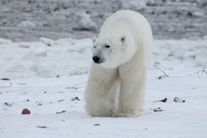 Wildlife co-management boards find themselves facing previously unanticipated challenges associated with climate change, for instance management of wildlife populations under stress, such as the polar bear. (Pixabay)