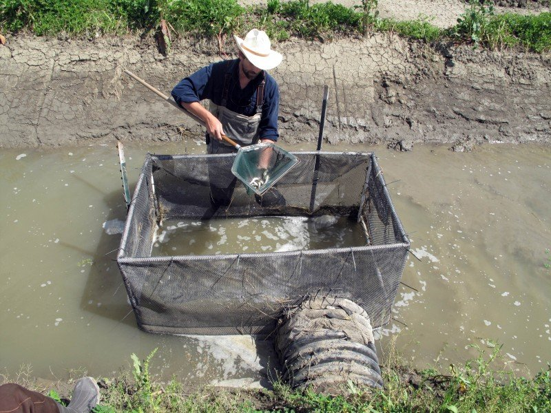 Biologist Jacob Katz counts juvenile salmon being trapped as water drains from a flooded rice field near Woodland, California. (Tracie Cone, AP)