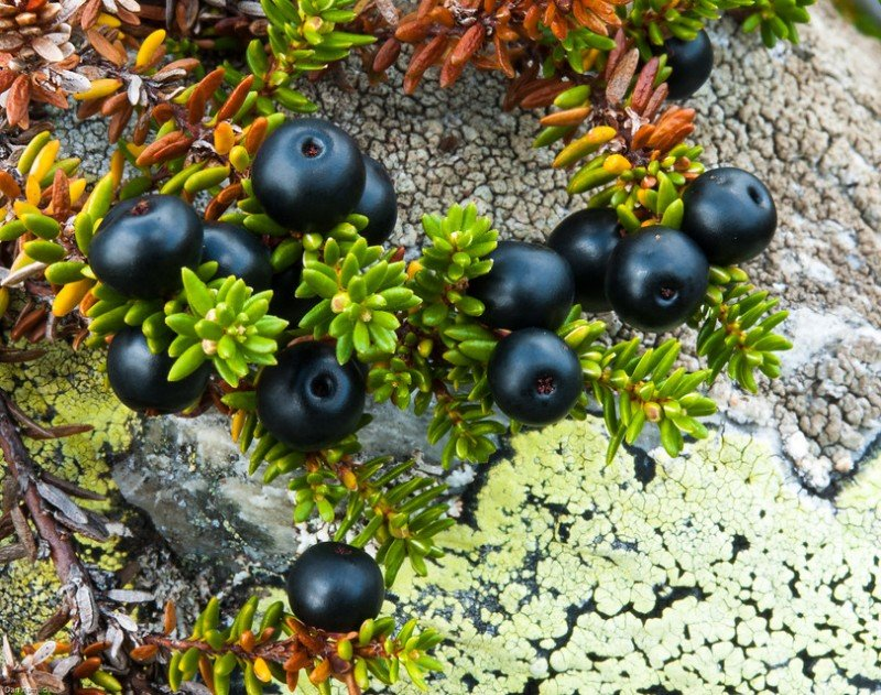 Crow berries grow near lichen-covered rocks in southern Norway, west of Oslo. (NIBIO)