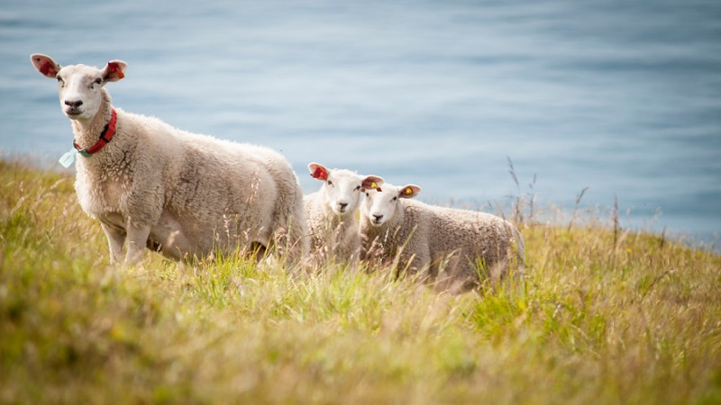 Lamb grazing in Vestvagoy, Norway. (NIBIO/Lars Sandved Dalen)