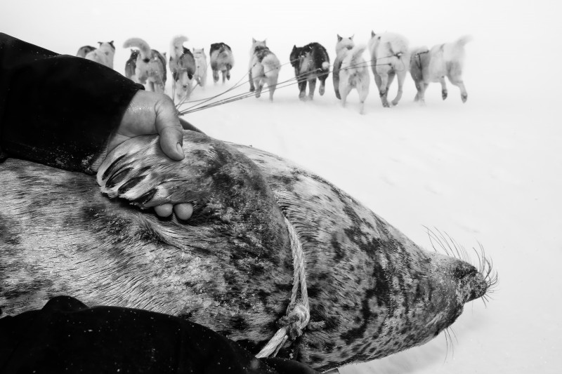 Seals are the most important and common animals to hunt for the Inuit. The hunter has placed the dead seal on his dog sled and is on his way home to the township with the day's catch. (Carsten Egevang)