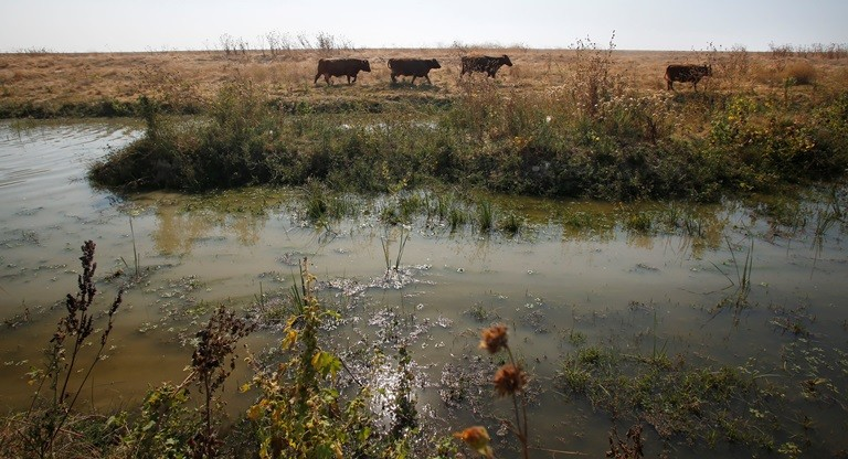 Cattle roam along the Eastside Bypass of the San Joaquin River restoration project in September 2016. (Gary Kazanjian, AP)