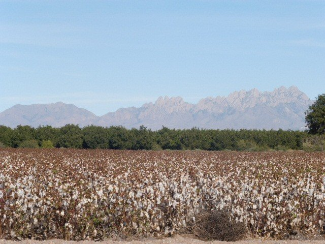 A cotton field irrigated by water from the Rio Grande, in the Mesilla Valley of New Mexico. A variety of very thirsty crops, including cotton and alfalfa, are grown using Rio Grande water. (Luzma Jimenez Nava)