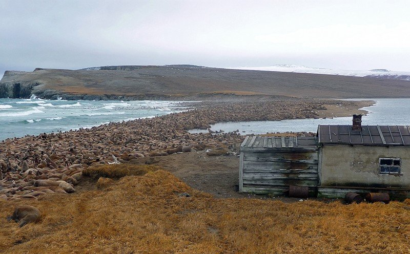 Biologists estimate that 100,000 walruses hauled out along the 20km (12-mile) coastline of Cape SerdtseKamen' between August and November 2009. (Russian Academy of Sciences/Anatoly Kochnev)