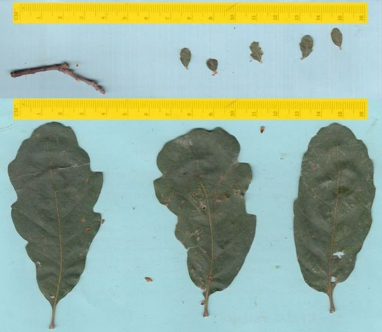 Blue oaks stressed by drought produced dwarf leaves (top) that were much smaller than normal, as illustrated in this photo. (Todd Dawson)
