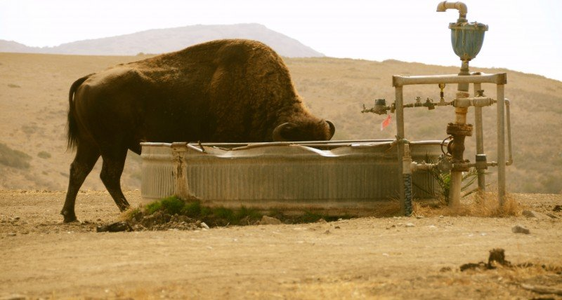 Many of the native species on Catalina Island have adaptations that have left them relatively unaffected by the drought. Other introduced species like the American bison, which was brought to the island for the filming of a movie in 1924, have needed some supplemental water. (Alex Krowiak)