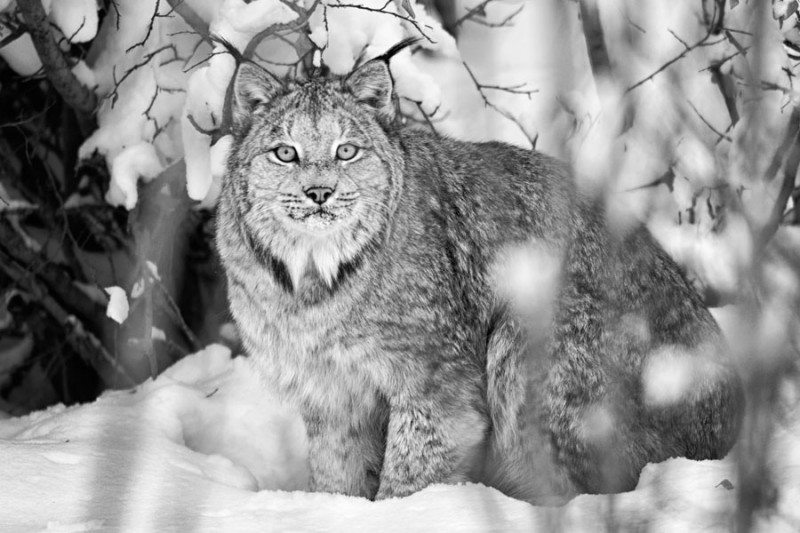 A lynx is seen on the Dempster Highway near Yukon's Tombstone Territorial Park and Eagle Plains. (Peter Mather)