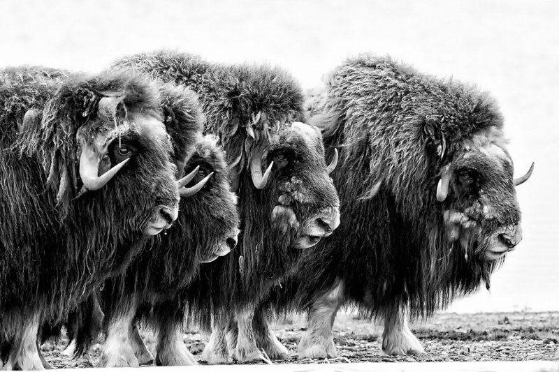 Adult muskox form a defensive ring around their young on a spit along the coastal plain of Alaska's Arctic National Wildlife Refuge. This picture was taken on a month-long sea kayak trip along the Arctic Coast of Yukon and Alaska. (Peter Mather)