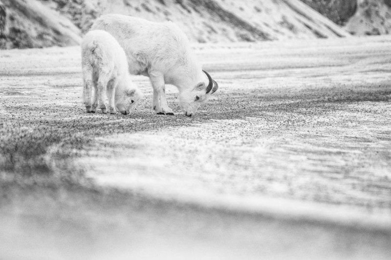 Dall sheep ewe and lamb licking minerals off the Alaska Highway in Kluane National Park. (Peter Mather)