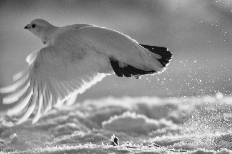 A ptarmigan takes flight near the Dempster Highway in the Eagle Plains basin of North Yukon. (Peter Mather)