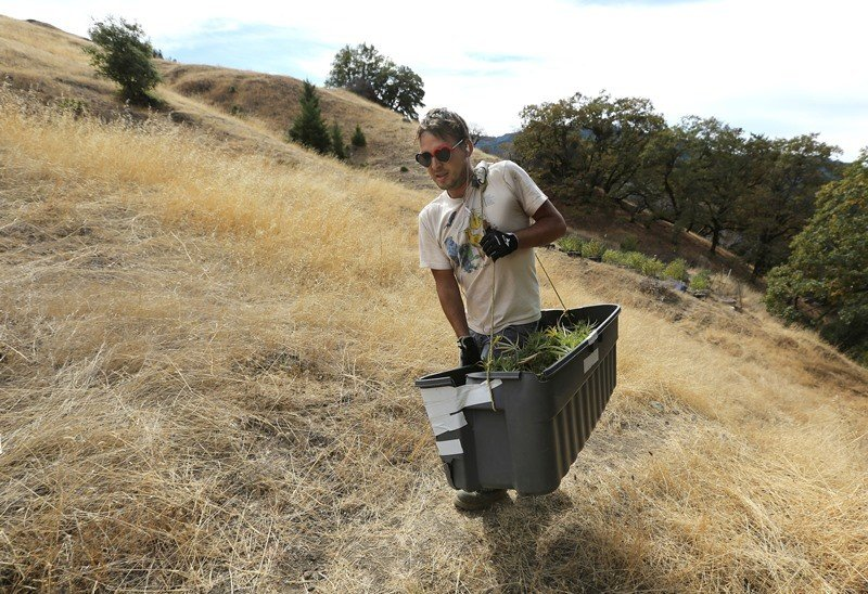 Anthony Viator carries a bin filled with marijuana buds harvested from the farm of grower Laura Costa, near Garberville, Calif. (Rich Pedroncelli, AP)