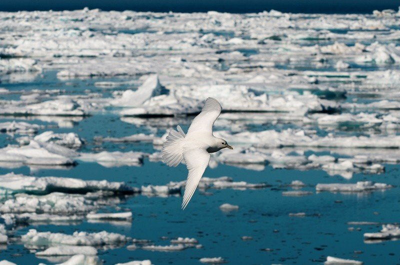 An Ivory gull flies over the ice of the Barents Sea near Spitsbergen. (AFP/Biosphoto/Gerard Bodineau)