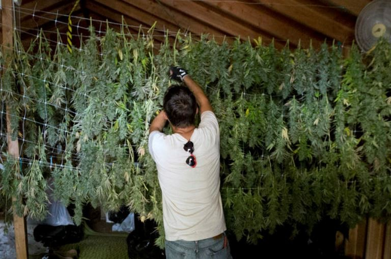 In this Oct. 12, 2016, file photo, Anthony Viator hangs harvested marijuana buds for drying on grower Laura Costa's farm near Garberville, Calif. State tax collectors are taking initial steps to get a hand into the vast, emerging economy, with billions of dollars at stake in the future for the state treasury. State analysts have estimated that state and local governments could eventually collect over $1 billion annually from the production and sale of legal pot. Photo by Rich Pedroncelli, Associated Press
