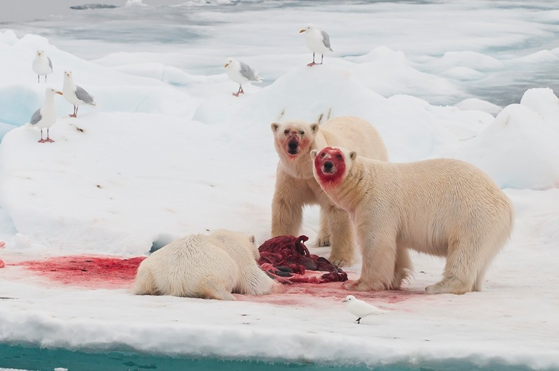 Polar Bears And People Cataloging Conflict Arctic Deeply
